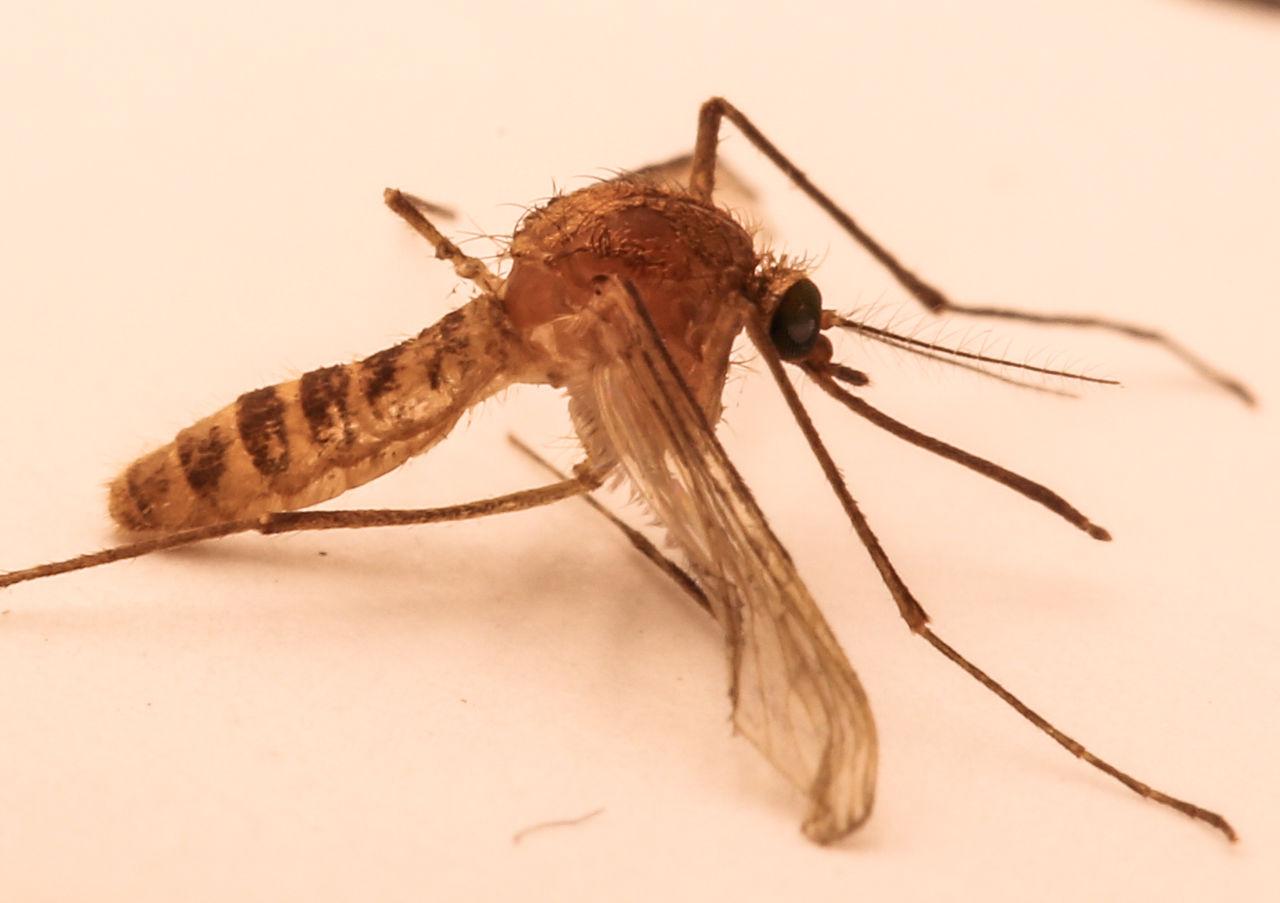 <i>Culex molestus</i>— комар лондонского метро.