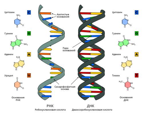 Строение молекул рибонуклеиновой кислоты идезоксирибонуклеиновой кислоты. Дезоксирибонуклеиновая кислота имеет форму спирали, состоящей из двух отдельных молекул. Молекулы рибонуклеиновой кислоты, всреднем, короче ипреимущественно одноцепочечные.