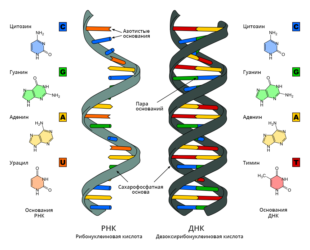 """Строение молекул <abbr lang=""""ru"""" title=""""Рибонуклеиновая кислота"""">РНК</abbr> иДНК. <abbr lang=""""ru"""" title=""""Дезоксирибонуклеиновая кислота"""">ДНК</abbr> имеет форму спирали, состоящей из двух отдельных молекул. Молекулы РНК, всреднем, короче ипреимущественно одноцепочечные."""
