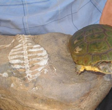 История панциря черепахи