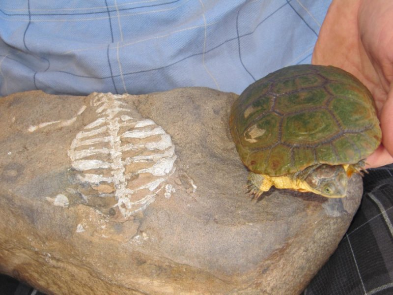 Анализ костных останков древнего предка черепах (<i>Eunotosaurus</i>) позволяет предположить, что модификация рёбер, приведшая кпоявлению панциря, была адаптацией кподземному образу жизни.