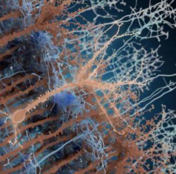 Учёные наблюдали развитие «взрослых» нейронов