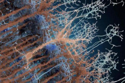 Новый «взрослый» нейрон (светло-коричневый) соединяется ссуществовавшими ранее клетками (тёмно-коричневый).
