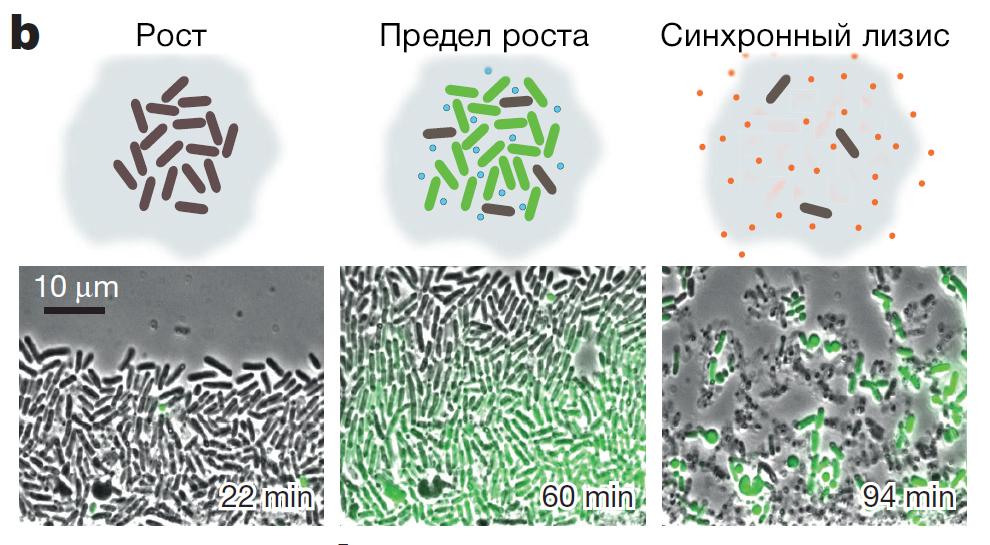 Рост популяции иуничтожение (лизис) генетически модифицированных бактерий.