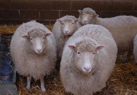 Овцы, полученные из той же клеточной линии, что иДолли.