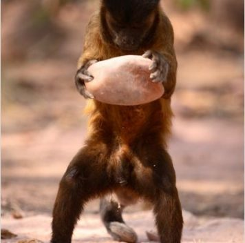 Обезьяны вБразилии используют камни как инструменты уже сотни лет