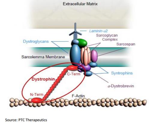 Рисунок 2. Дистрофин соединяет актиновые филаменты сбелковым комплексом вмембране мышечной клетки