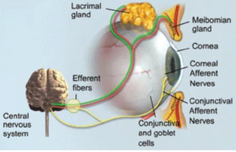 Рисунок 4. Элементы слёзного аппарата глаза иэлементы управления выделением слёзной жидкости