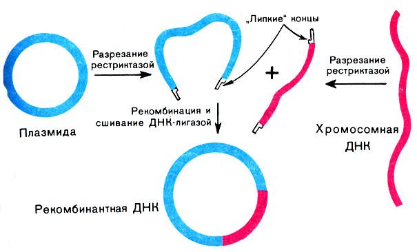 Схема конструирования рекомбинантной молекулы дезоксирибонуклеиновой кислоты. Источник: DNKWORLD.RU