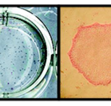 Разработан новый дешёвый метод культивирования стволовых клеток
