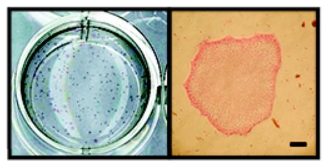 Плюрипотентные стволовые клетки вискусственной среде.