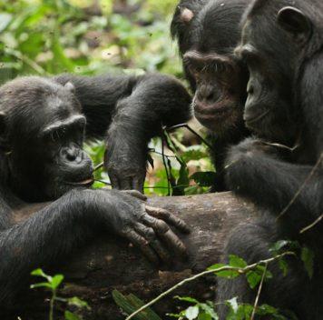 Чем больше шимпанзе путешествуют, тем чаще используют новые инструменты