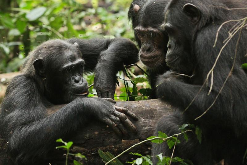 Шимпанзе добывают мёд, оставленный  для них их безволосыми кузенами.