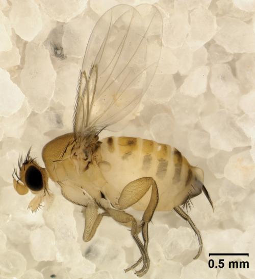 Взрослая самка Apocephalus borealis нафоне кристалликов сахара