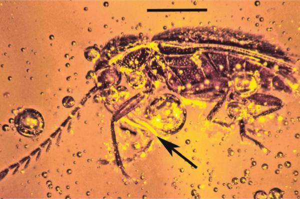 Инклюз двадцатимиллионолетнего жука-птилодактилида счастицами пыльцы орхидеи, найденный вмексиканском янтаре