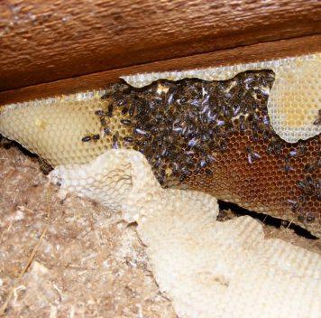 Сто тысяч пчёл обнаружены под крышей больницы вУэльсе