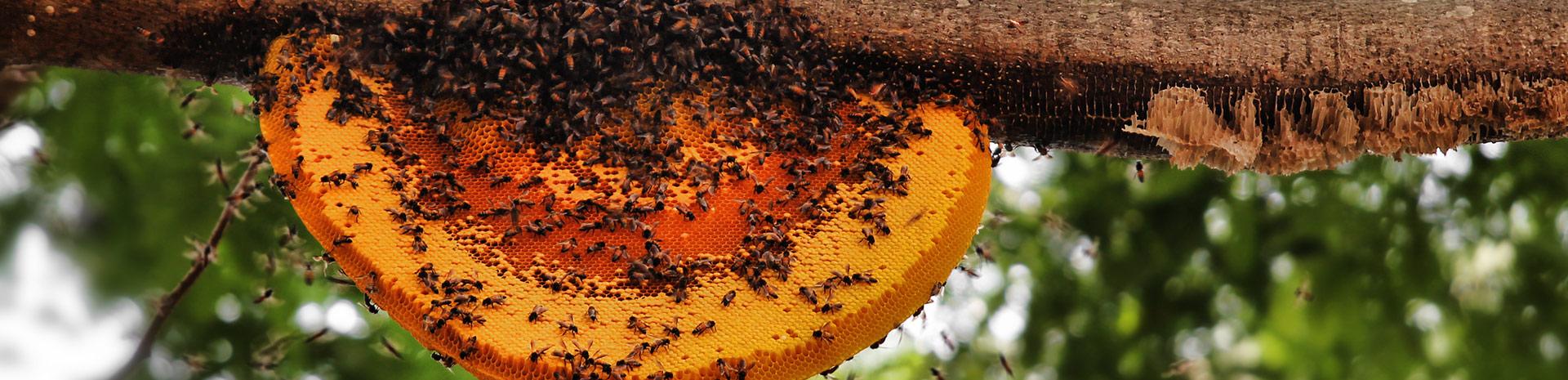 Спасут ли дикие пчёлы от эпизоотии варроатоза?