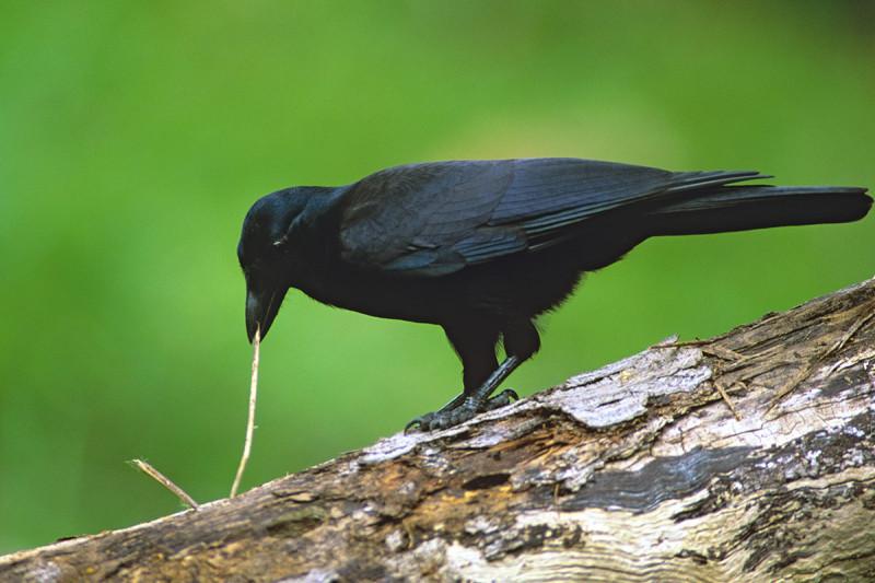 Новокаледонский ворон отличается умом исообразительностью.