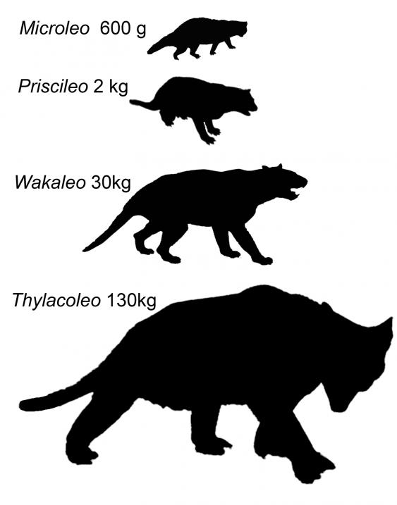 Сравнение размеров тела Microleo attenboroughi идругих родов вымершего семейства сумчатых львов Thylacoleonidae.