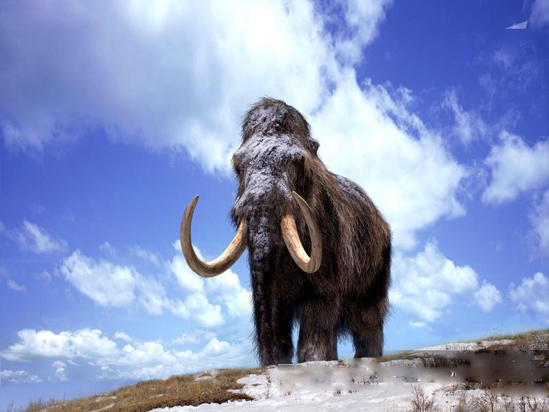 Наострове Святого Павла популяция мамонтов сохранялась гораздо дольше, чем наконтиненте.