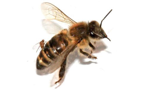 «Зомби-муха» Apocephalus borealis откладывает яйца вбрюшко медоносной пчелы