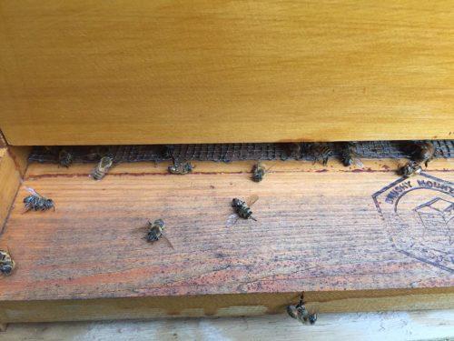 Пчёлы, погибшие врезультате распыления пестицида, призванного остановить эпидемию вируса Зика