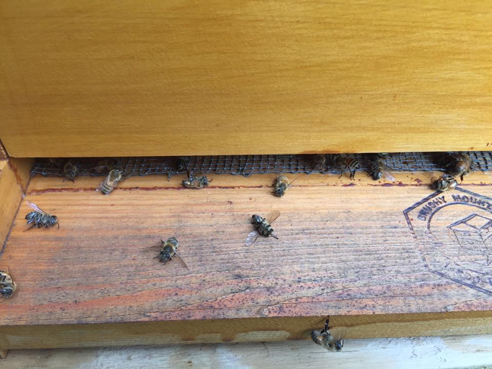 Пчёлы, погибшие врезультате распыления пестицида, призванного остановить эпидемию вируса Зика.