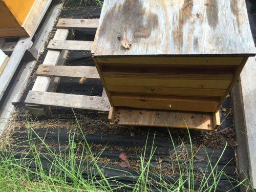 Пасеки Дорчестера покрыты ковром из мёртвых пчёл
