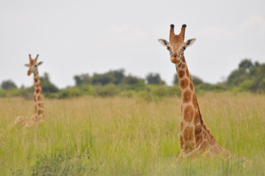 Нубийский жираф вУганде. Фото: Julian Fennessy.
