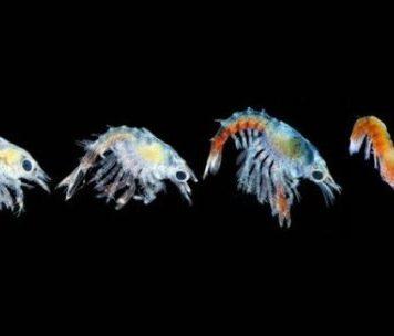 Рост температуры океанов угрожает ловле омаров