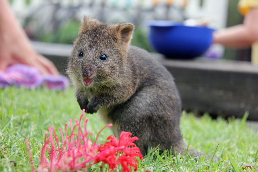 Размером квокка, которую ещё называют короткохвостым кенгуру, как правило, скрупную кошку или небольшую собаку