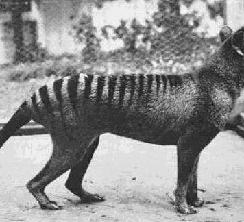 Мог ли сумчатый волк сохраниться вматериковой Австралии?