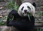 «Дайте пандам хорошие бамбуковые леса, и с ними всё будет в порядке», — говорит Рональд Свайсгуд, член экспертной группы IUCN.