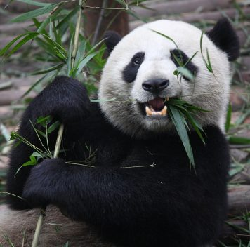 Пандам больше неугрожает вымирание