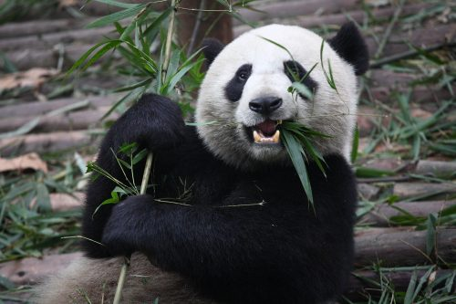 «Дайте пандам хорошие бамбуковые леса, ис ними всё будет впорядке»,— говорит Рональд Свайсгуд, член экспертной группы IUCN.