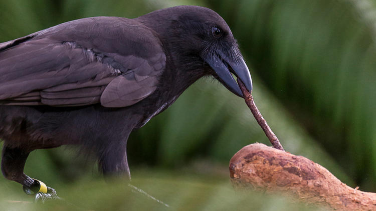 Гавайский ворон, один из двух видов врановых, способных использовать инструменты, находится сегодня награни исчезновения