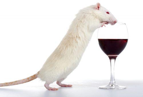 Похоже, учёные нашли способ вылечить алкогольную зависимость. Жаль, что только укрыс.