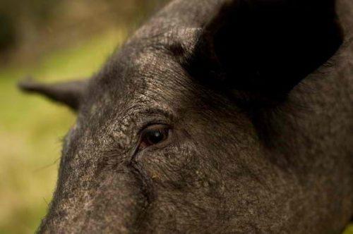 Свинья чёрного окраса