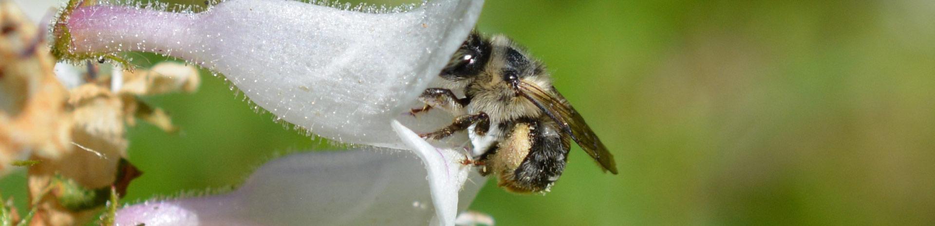 Цветы являются важным звеном в передаче бактерий диким пчёлам