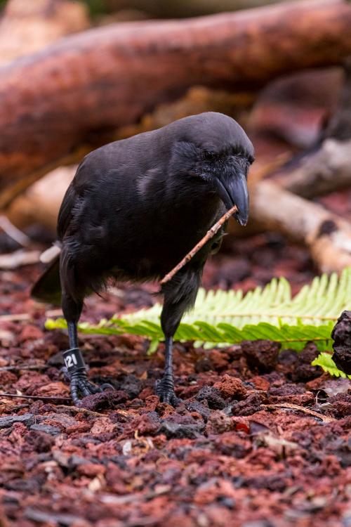 К сожалению, учёным неудалось найти ни одного свидетельства использования гавайскими воронами инструментов вприроде. Что неудивительно, так как последних живых ʻalalā наГавайях видели в2002 году, редкой же эта птица является сначала XX века. Тем неменее, отсутствие таких свидетельств непозволяет сполной уверенностью утверждать, что эта замечательная способность развилась уже впопуляции, живущей взоопарках.