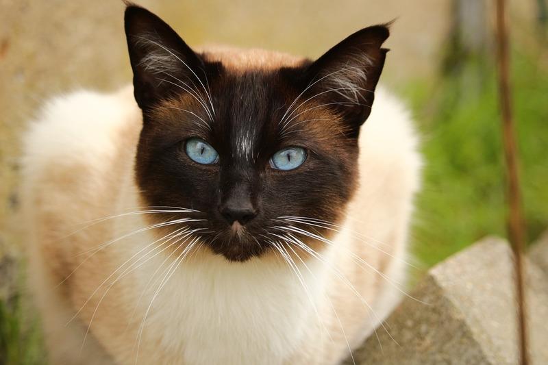 Это неЧестер, но похожий нанего сиамский кот.