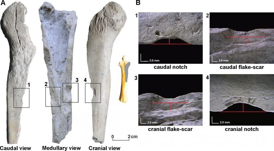 Кости животных со следами орудийного воздействия