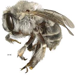 Взрослая самка Anthophora pueblo. Масштабная полоска— 0,5 мм