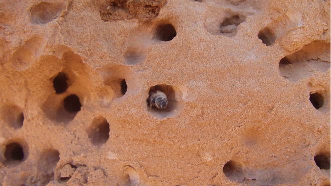 Пчела вида <i>Anthophora pueblo</i> всвоём каменном гнезде впустыне Сан-Рафаэль, штат Юта, США.