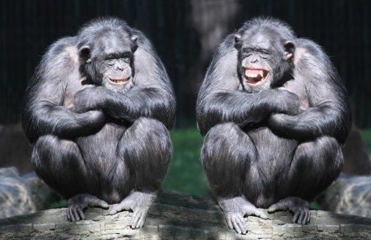 Шимпанзе понимают, что кто-то может ошибаться