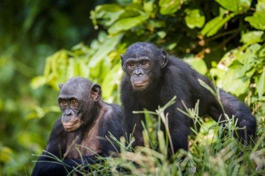 Бонобо— один из ближайших родственников человека