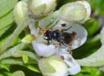 Гавайская «желтолицая» пчёла на цветке