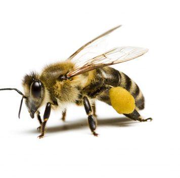 Больше пестицидов— больнее пчёлам