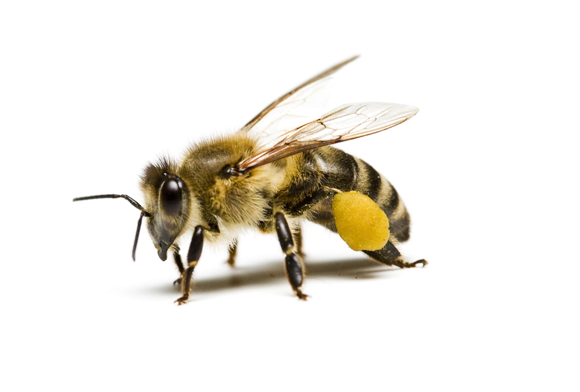 """Пчела— часть """"суперорганизма"""", пчелиной семьи."""