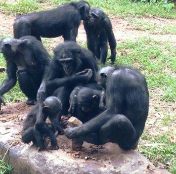 Бонобо раскалывают орехи каменными орудиями нехуже шимпанзе